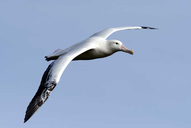Dynamic Soaring How the Wandering Albatross Can Fly for Free